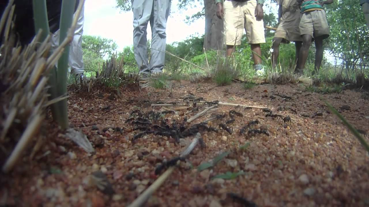 Army ants attack termites in Africa - YouTube Army Ants Attacking