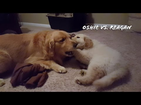 Oshie Vs. Reagan The Golden Retriever Puppy!