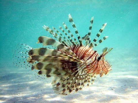 Facts: The Lionfish