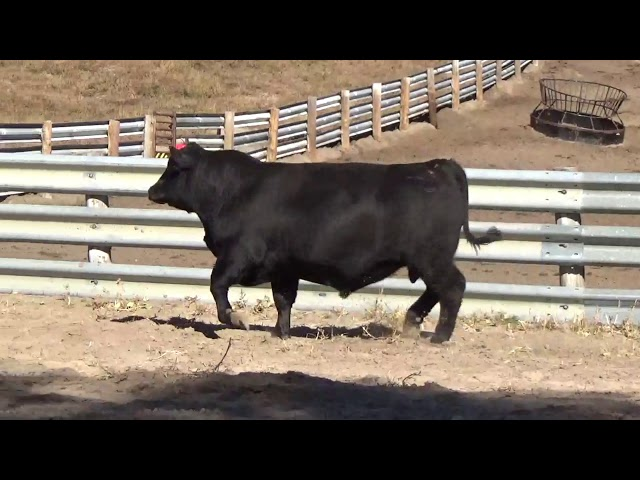 Connealy Angus Lot 34