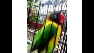 Single Terbaru -  Pasti Ngakak Lovebird Dangdutan