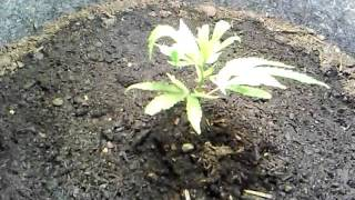 Ommp safe grow: help with leaf curl?