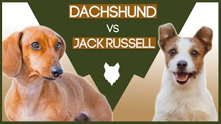 DACHSHUND VS JACK RUSSELL! What's The difference!?
