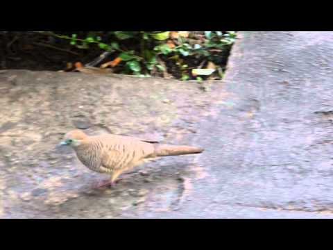 Dove, Pigeon ,Columbiformes