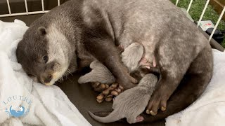 Otter gave birth to babies!