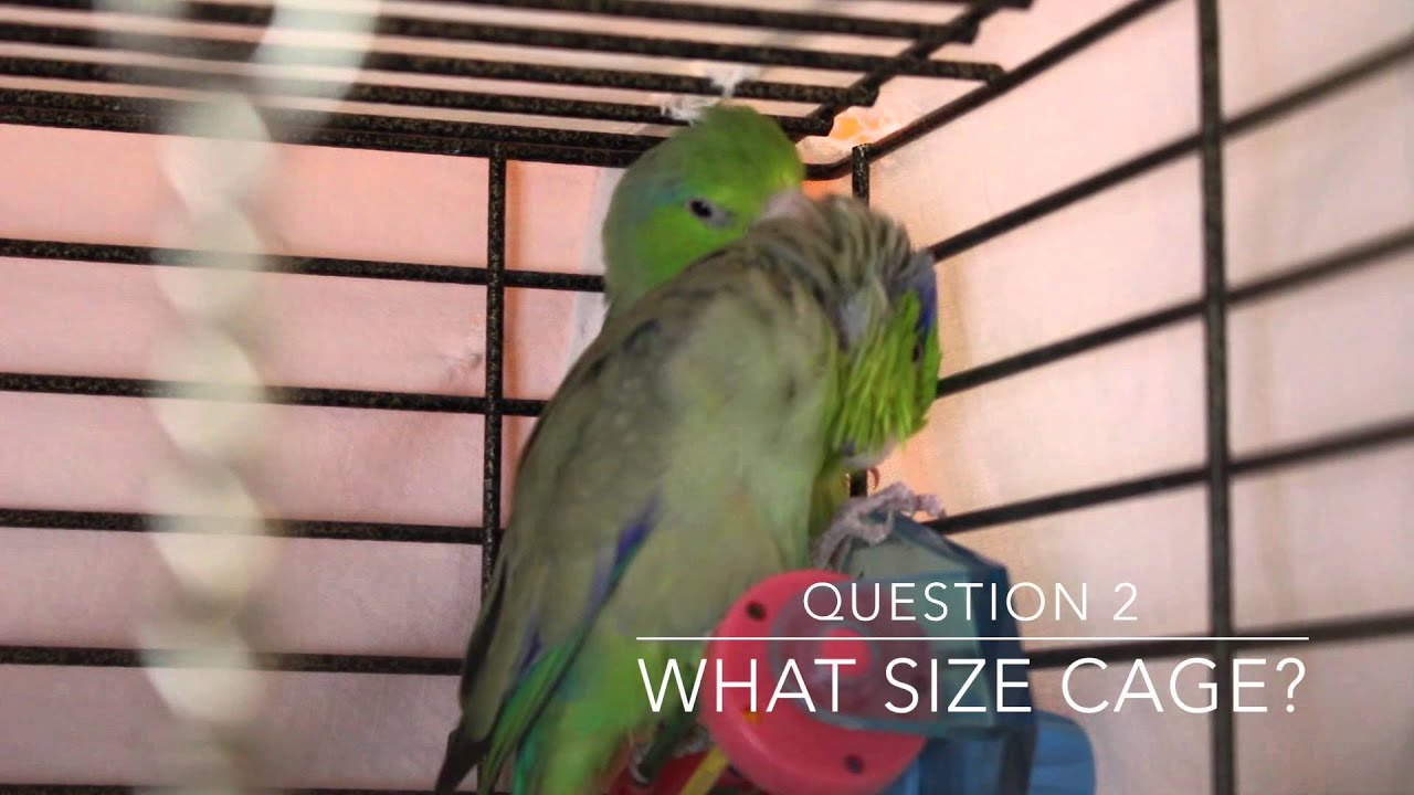 Wavy parrot: photo, care and maintenance at home 16