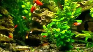 #Aquarium. Анубиас в аквариуме.
