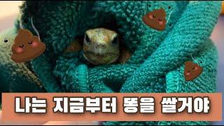 거북이 응가하는거 훔쳐보기! 레오파드육지거북 꿀떡이의 …