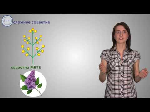 Биология 6кл Соцветие