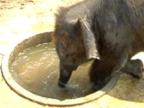 Baby elephant plays and takes a swim