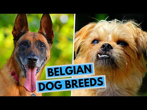 TOP 9 Belgian Dog Breeds List