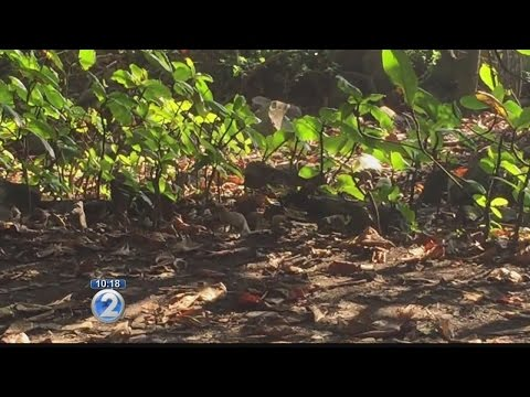 Public input wanted for mongoose control, eradication in Hawaii