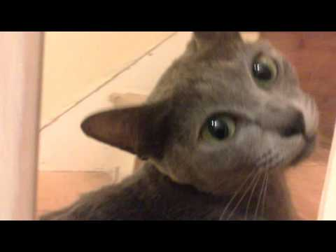 Candy our korat cat