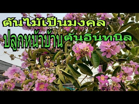ต้นไม้มงคลหน้าบ้าน ทนแดด ดอกสวย ต้นอินทนิล/นานาพันธุ์ไม้ by นิตยา