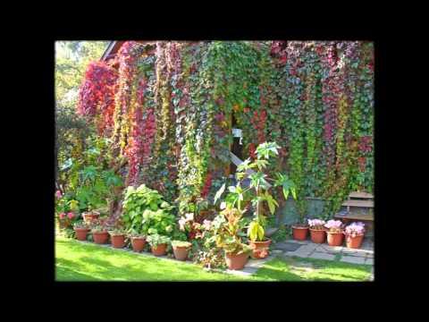 Вьющиеся растения для сада фото и названия