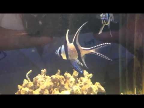 Bangaii Cardinal Fish Seem To Die A Lot!