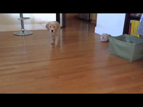 Are these easty/westy feet? - Golden Retrievers : Golden