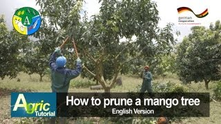 How to prune a mango tree (engl)