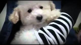 抱っこ大好きなホワイトプードル姫♡ もうすぐ生後3ヶ月になります.