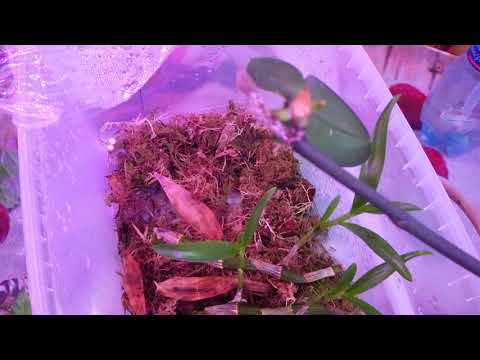 Размножение орхидеи дендробиум Нобиле. Результаты эксперимента.