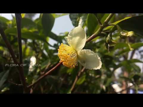 Camellia sinensis | Medicinal Uses Of Camellia sinensis | Tea Plant
