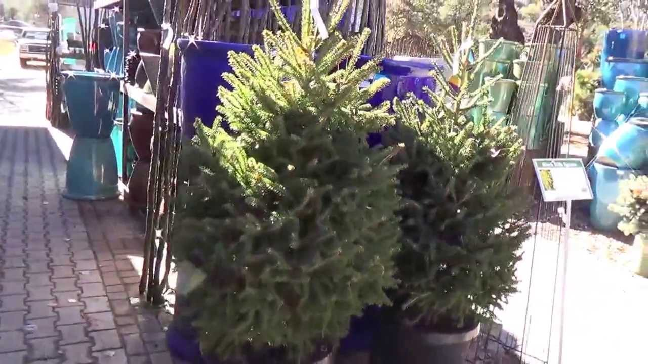 Blackhills Spruce As A Living Christmas Tree YouTube - Black hills spruce bonsai trees