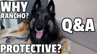 What Life is Like with a Belgian Shepherd Tervuren | Q and A