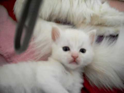 Pullo The Turkish Angora Kitten Youtube