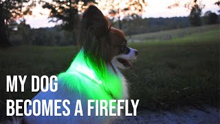I Turn My Dog Into A Firefly // Percy the Papillon Dog