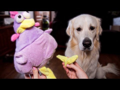 GUILTY DOG! Funny Golden Retriever Destroyed His Toy!