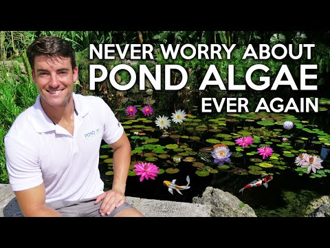 Algae In Koi Ponds, Learn This Lesson & Have A Clear Water Garden For Life! Jennings Brower Explains