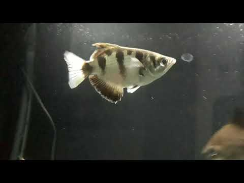 660 Koleksi Gambar Hewan Ikan Pemanah Terbaik