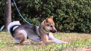 ご覧のとおり赤胡麻の若犬で、穏やかな表情でとても人懐こい良性な性格...