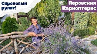 Цветущие многолетники в саду - ПЕРОВСКИЯ КАРИОПТЕРИС