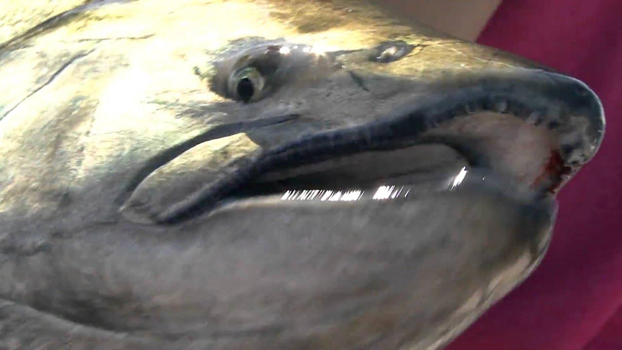 Global ocean exploration fishing monster salmon youtube for Ocean explorer fishing