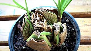 Размножение Гиппеаструма делением луковицы