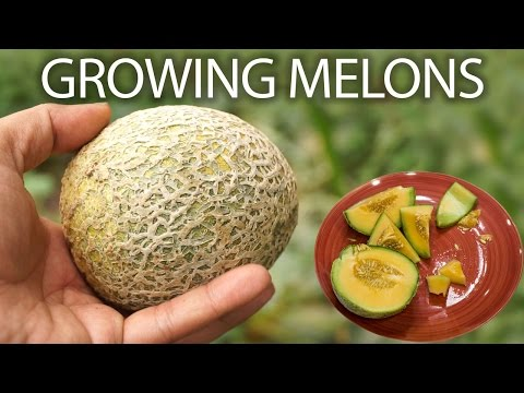 how-to-grow-cantaloupe-or-musk-melon-or-honeydew-melons