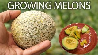 How to grow cantaloupe or musk melon or honeydew melons