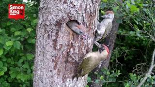 Green Woodpeckers Fledging