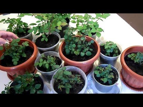 Комнатные розы : пересадка. How to transplant a potted rose.