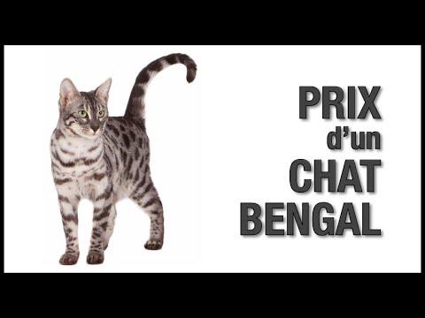 Prix D'un Chat Bengal - Chatterie Bengal Laurentides