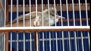 burung kerak basi gacor fighter
