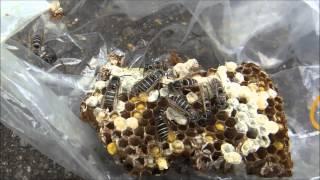 ヘボ(クロスズメバチ)の養殖と取出し