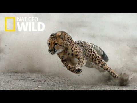 National Geographic Documentary Wild -  Cheetah The Fastest Running - BBC Documentary H  [HD 1080p]
