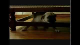 "Pug Plays ""under"" Dog - Here's Mosie! Pug Reality Tv"
