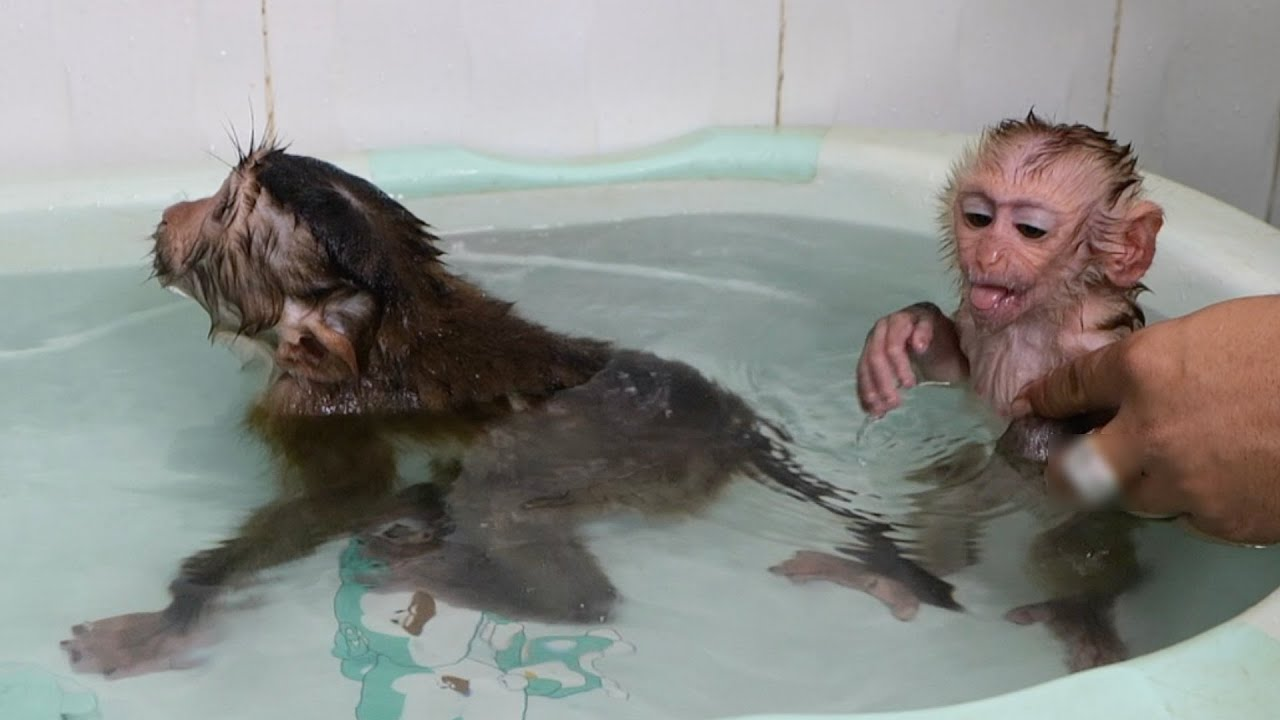 Monkey Baby Bono Bathed With Monke GG What Happened Monke GG Crying
