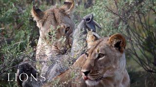 lions killing a warthog after digging it out afrika fotoreisen