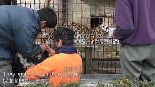 The first blood sampling of Pong the Amur leopard at Omuta City Zoo
