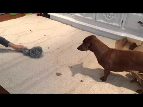 Dachshund Gets New Toy for Christmas