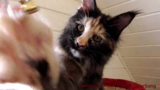 Мейн Кун Rada SolarSong, кошка, черепаха чёрная солидная, 6 месяцев.